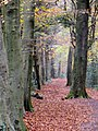 Beech trees in the autumn - Leigh Woods - November 2013 - panoramio.jpg