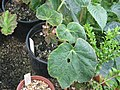 Begonia labordei (20360848974).jpg