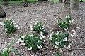 Begonia odorata Alba 2zz.jpg