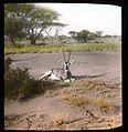 Beisa oryx in a field.jpg