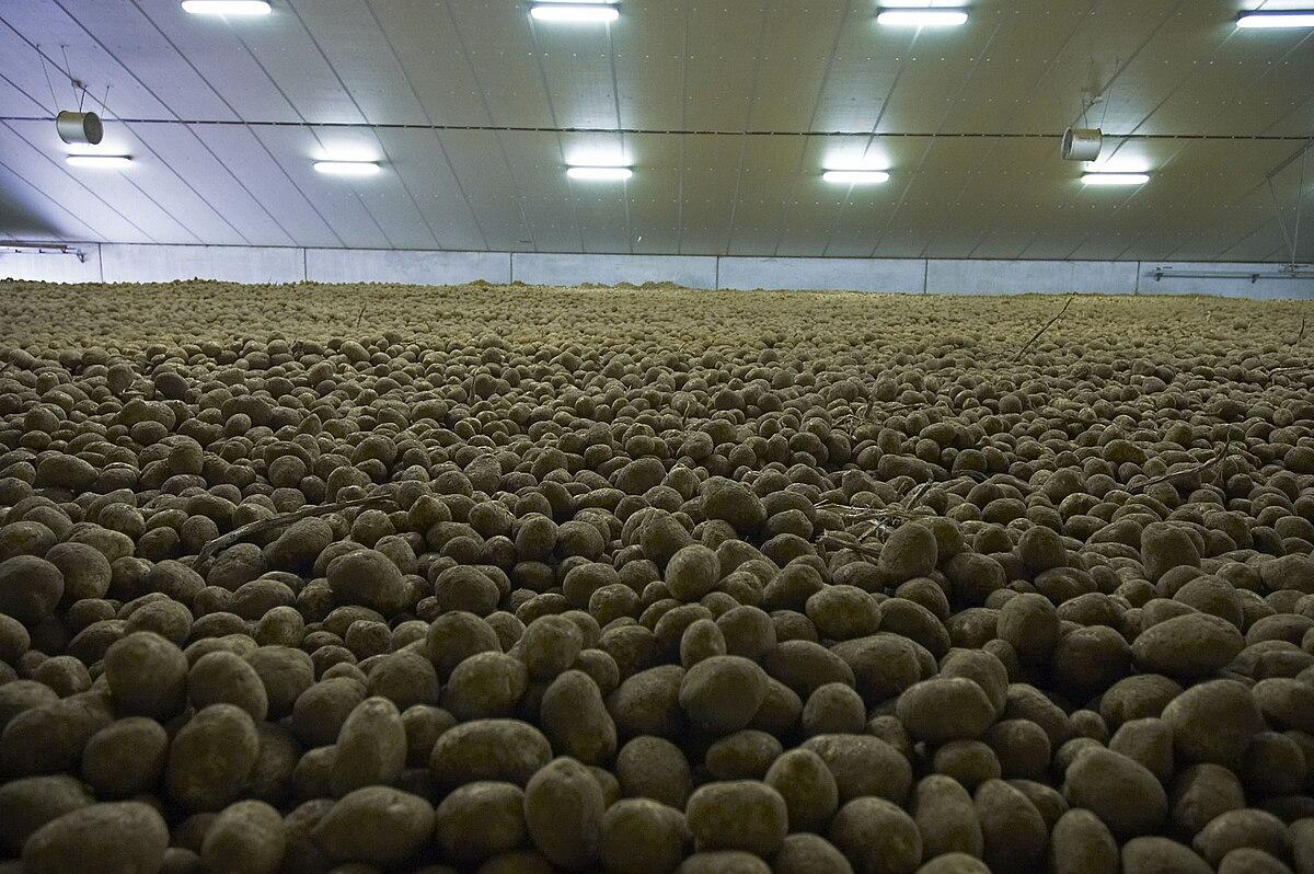 Stockage des pommes de terre wikip dia - Conservation pommes de terre cuites ...