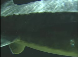 ไฟล์:Beluga sturgeon in aquarium.webm
