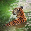Bengal tigar at Nandankanan, Odisha, India.jpg
