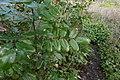 Berberis aquifolium 112083282.jpg