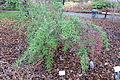 Berberis gagnepainii - Botanischer Garten, Dresden, Germany - DSC08940.JPG
