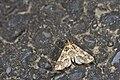 Bertula bidentata (35693452995).jpg