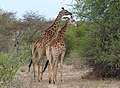 Big Giraffes, as photographed by my brother in law Han in the Greater Krugerpark - panoramio.jpg