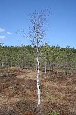 Birch in Natura area Linnaistensuo.jpg