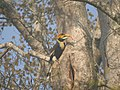 Bird Great Hornbill Buceros bicornis at nest DSCN9018 11.jpg