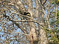 Bird Great Hornbill Buceros bicornis at nest DSCN9018 16.jpg