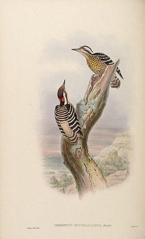 Philippine pygmy woodpecker - Image: Birds Asia John Go VI Goul 0132