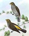 BirdsAsiaJohnGoVIGoul 0200, crop.jpg