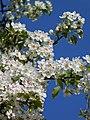Birnenblüten in der Nordpfalz.jpg