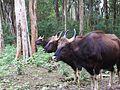 Bison! Form a line.jpg