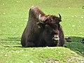 Bison-bison-athabascae-1.jpg
