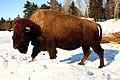 Bison (6980764891).jpg