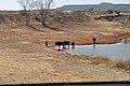 Bison at Caprock Canyons.JPG