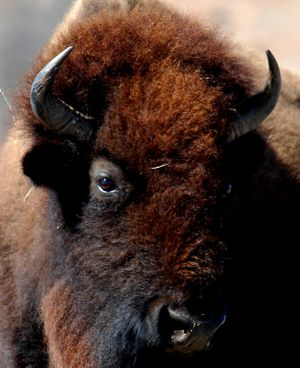 American Bison (Bison bison). Image taken at W...