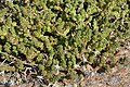 Biting Stonecrop (Sedum acre) - Oslo, Norway 2020-08-12.jpg