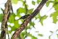 Black-and-white warbler (33560538663).jpg