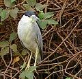 Black-crowned Night Heron (Nycticorax nycticorax), Poconé, Mato Grosso.jpg