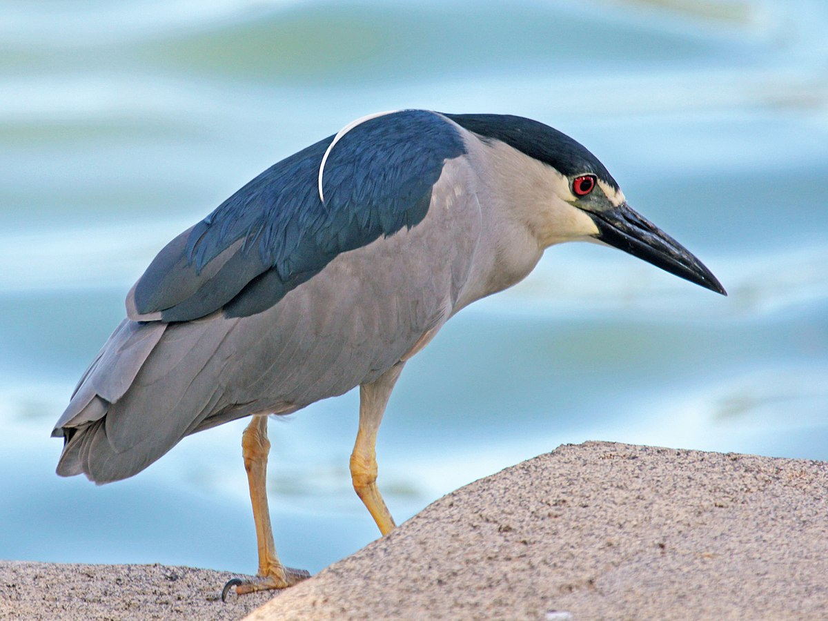 Black Crowned Night Heron Wikipedia