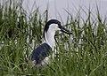 Black-crowned night heron fish III fergies may 18 (14268214166).jpg