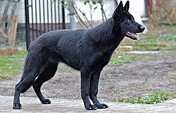 Black-german-shepherd-29944091920