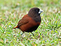 Black-headed Munia RWD.jpg