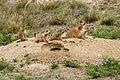 Black-tailed Prairie Dog (48743030733).jpg