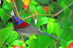 Black-throated Sunbird.jpg