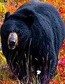 Black Bear -- Lake Louise Gondola Terrminus Alberta (Canada) September 2019 (50072485093).jpg