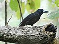 Black Butcherbird (32111071796).jpg