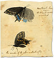 Black butterfly in Montreal, 1792.jpg