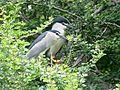 Black crowned Night Heron I IMG 4931.jpg