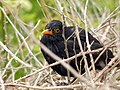 Blackbird (7475151764).jpg