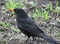 Blackbird in Madrid (Spain) 14.jpg