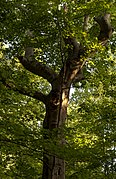 Blacklick Woods - Old Maple Tree 1.jpg