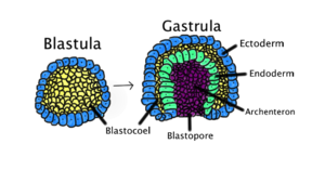 Gastrulation - Gastrulation occurs when a blastula, made up of one layer, folds inward and enlarges to create a gastrula. This diagram is color-coded: ectoderm, blue; endoderm, green; blastocoel (the yolk sack), yellow; and archenteron (the gut), purple.