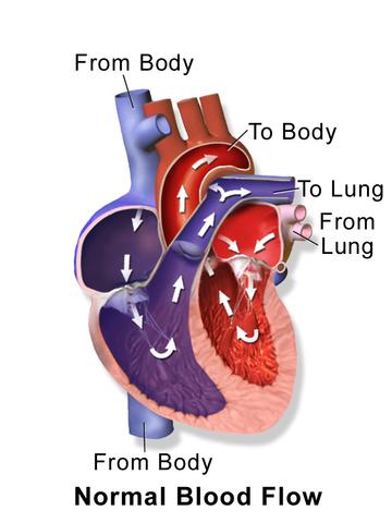 Blausen 0452 Heart BloodFlow