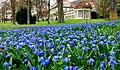 Blausterne im Kurpark Bad Mergentheim. 02.jpg