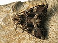 Blepharita amica - Полевая совка северная (40223511405).jpg
