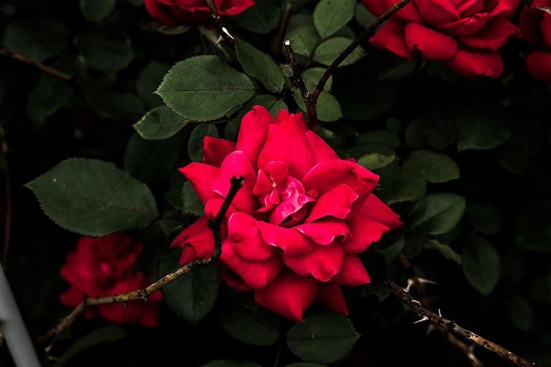 File:Blooming Rose Bush (Unsplash).jpg