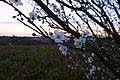 Blossom (24394094576).jpg