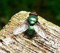 Blow-fly. Lucilia caesar. Calliphoridae - Flickr - gailhampshire.jpg
