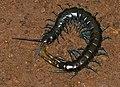Blue-legged Centipede (Ethmostigmus trigonopodus) (12681235843).jpg