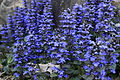 Blue-spring-flowers-macro - West Virginia - ForestWander.jpg