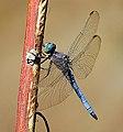 Blue ... (3742004108).jpg