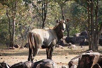 Blue Bull in Kanha Tiger Reserve.jpg