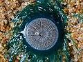 Blue Button Porpita Porpita Uthandi Jan21 D72 19405.jpg